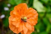 27th Aug 2019 - Bee in Queen Anne's Garden