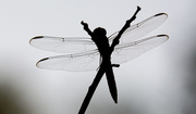 29th Aug 2019 - Dragonfly Silhouette!