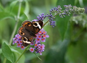 30th Aug 2019 - Same Bush, Different Butterfly