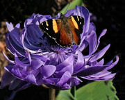 30th Aug 2019 - Yellow admiral on an anemone