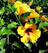 27th Aug 2019 - Hibiscus  Roma St  Gardens