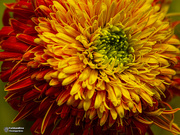 28th Aug 2019 - end of a gerbera