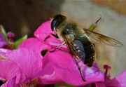 31st Aug 2019 - Hoverfly-2