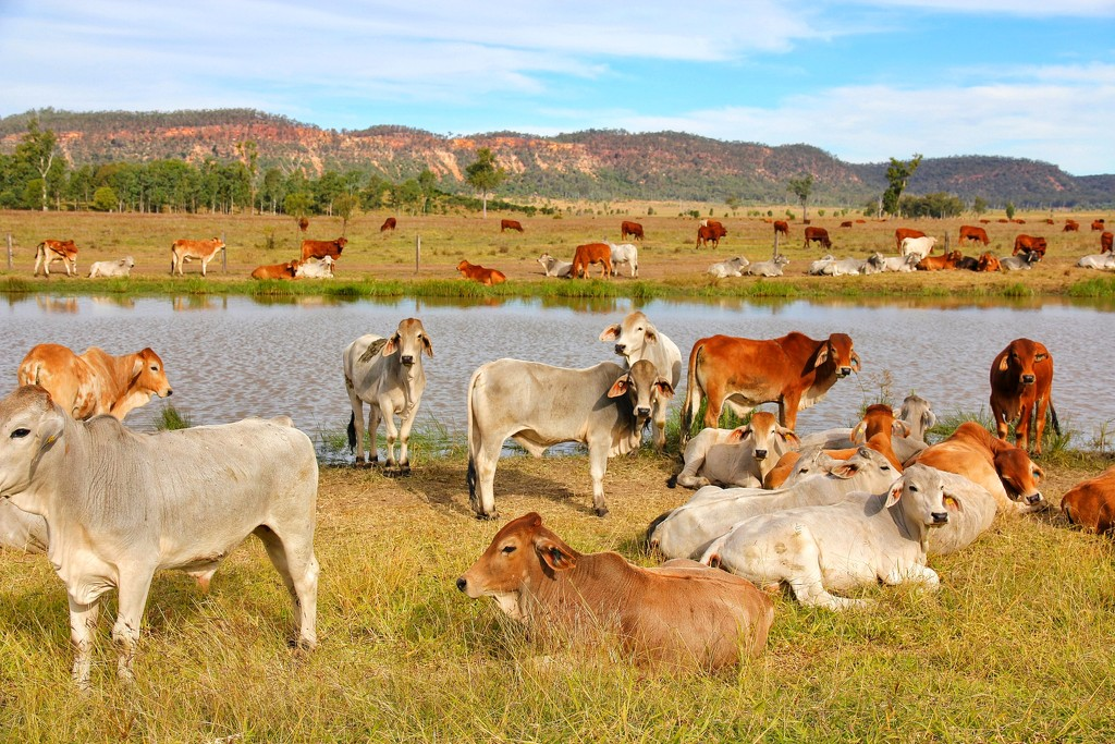 Brahman Cattle by leggzy