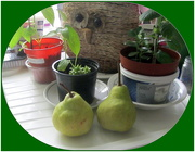 30th Aug 2019 - Owl planter, pears and indoor plants.