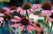 30th Aug 2019 - Cone Flowers