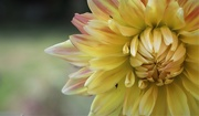30th Aug 2019 - Yay !!!! Another Dahlia