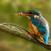 kingfisher with fish by shepherdmanswife