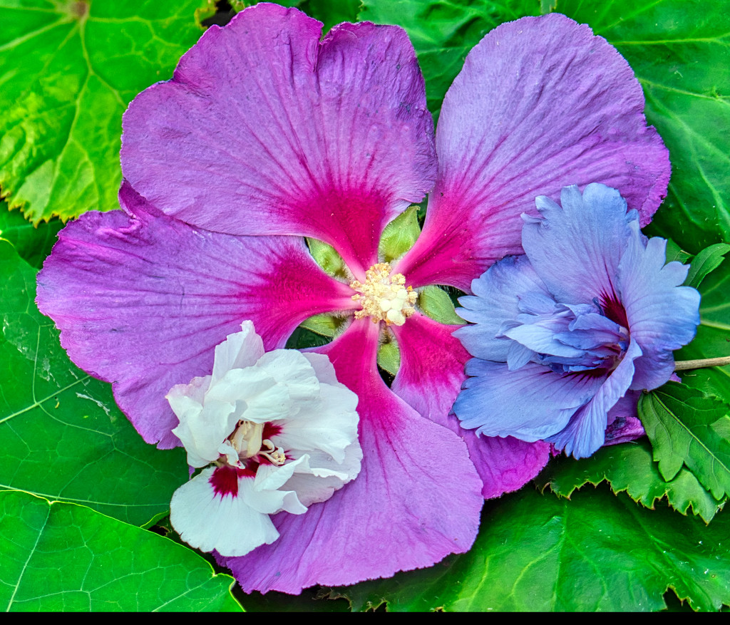 Three Hibiscus Flowers. by tonygig