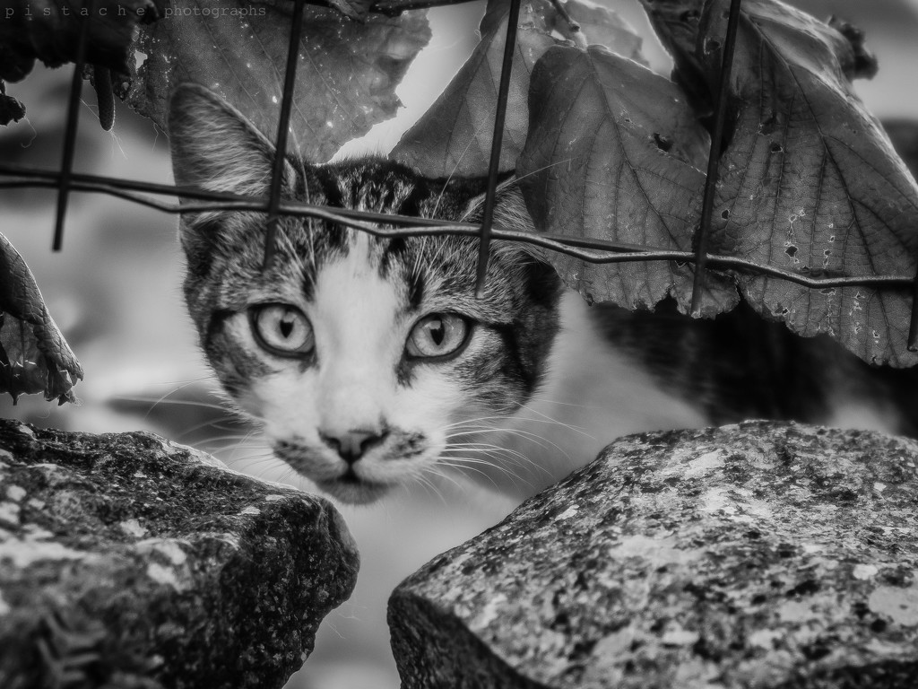 here kitty by pistache