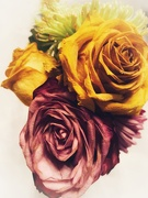 """31st Aug 2019 - """"Old"""" roses"""