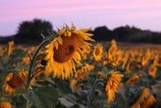 30th Aug 2019 - Dawnflowers