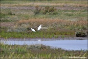 30th Aug 2019 - RK3_9347 Two little egrets