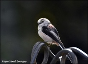 31st Aug 2019 -  Long tailed tit