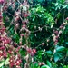 Berry curtain