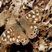 SPECKLED WOOD ON ROTTEN WOOD