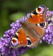 3rd Aug 2019 - Peacock butterfly