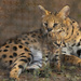 Serval Mother + Kitten