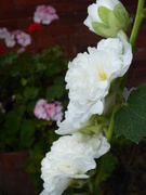 27th Aug 2019 - A white hollyhock