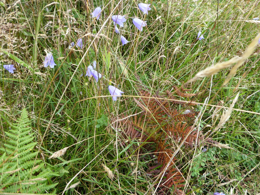 Harebells in the foliage by snowy