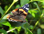 29th Aug 2019 - Red Admiral