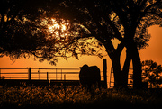 28th Aug 2019 - Cow Watches the Kansas Sunset