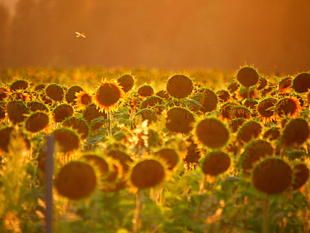 Sunflowers at Sundown by gq