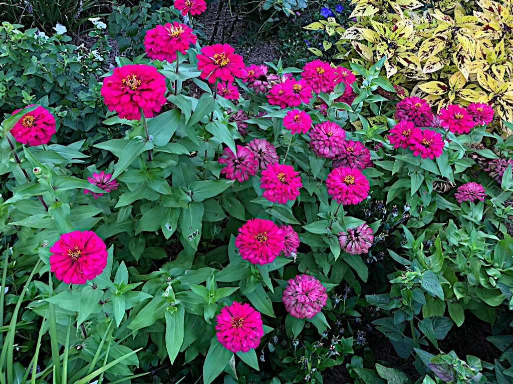 There are still a lot of summer zinnias at the Hampton Park Gardens in Charleston. by congaree
