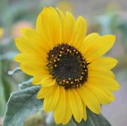 31st Aug 2019 - Evening Sunflower