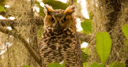 1st Sep 2019 - Great Horned Owl Number 2!