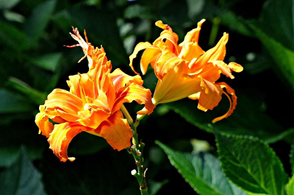 Lilies by sailingmusic