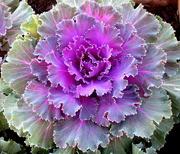 31st Aug 2019 - Cabbage flower
