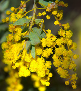 29th Aug 2019 - wattle