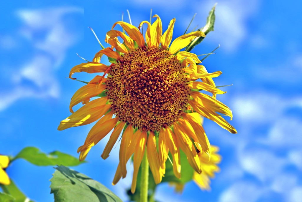 Sunflower Kind of Day by lynnz