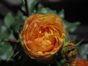 2nd Sep 2019 - Spray rose
