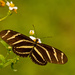 Zebrawing Butterfly! by rickster549
