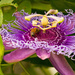Bee Working on the Passion Flower! by rickster549