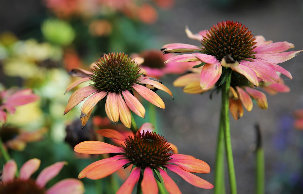 Cone Flower by phil_sandford