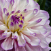 Another dahlia by mave