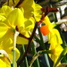 Golden daffodils, fluttering and dancing.. by maggiemae