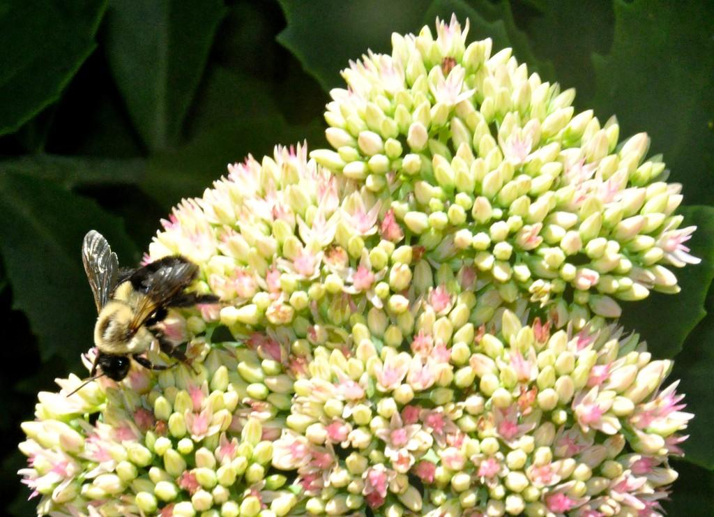 Bee on sedum by sailingmusic