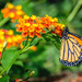 Brookside Gardens Butterflies (Monarch) by marylandgirl58