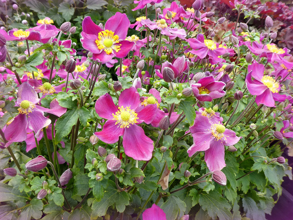 Japanese Anemones  by wendyfrost