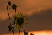 23rd Aug 2019 - Sunflower at Dusk