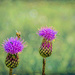Thistles by ludwigsdiana