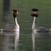 Australasian crested grebes courting by maureenpp