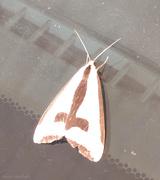 29th Jun 2019 - Clymene Moth