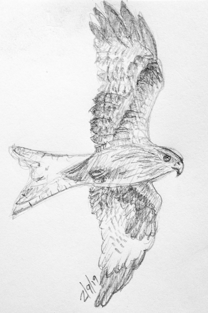 Red Kite by harveyzone