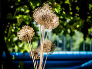 4th Sep 2019 - alliums centre stage ...