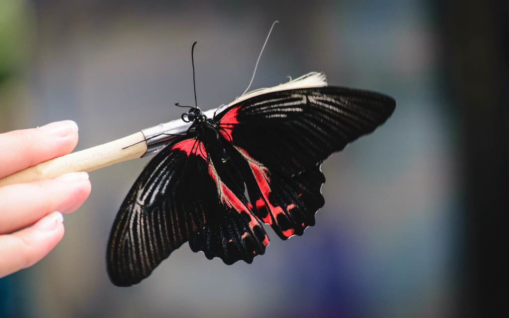 Scarlet Mormon Butterfly Wings Expanded by marylandgirl58